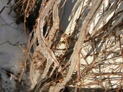 Ice on the Vine 2 - source image